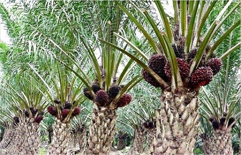 what is palm oil used for