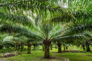 palm oil allergy