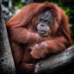 palm oil products affect orangutans
